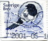 Eurasian Magpie - Pica pica — Stock Photo