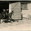 Three Foal ran out of the stables — Stok fotoğraf