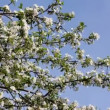 Blossom bird cherry tree branch under blue sky — Stock Video