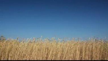 Caules do trigo — Vídeo stock