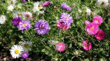 Aster flowers — Stock Video #12602853
