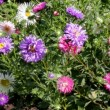 Aster flowers — Stock Video #12623402