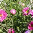 Aster flowers — Stock Video #12623488