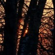 Sun through the tree trunks in winter — Stock Video