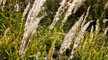 Stems of dry grass — Stock Video