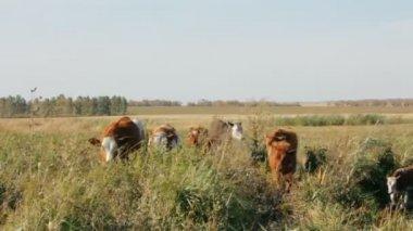 Calves walking past — Stock Video