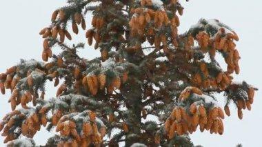 Zasněžený jedle s kužely a sníh — Stock video