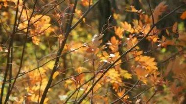 Na podzim žluté listy — Stock video