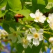 Ladybug on cherry tree flowers — Stock Video