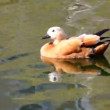 Stock Video: Mandarin duck