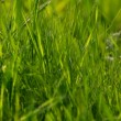 Abstract background closeup of Long uncut green grass blowing in the wind. -  