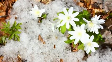 Snowdrop flowers and melting snow - timelapse