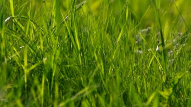 Abstract background closeup of Long uncut green grass blowing in the wind. — Stock Video