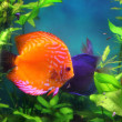 Red discus fish in aquarium - Stock Photo