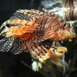 Stock Photo: Lionfish zebrafish underwater