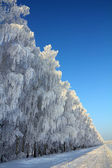 Camino de invierno con madera de abedul — Foto de Stock
