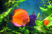 Red discus fish in aquarium — Stock Photo