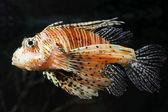 Lionfish zebrafish underwater — Stock Photo