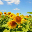 Sunflowers field under blue sky with clouds — Stock Video