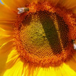 Bee pollination on sunflower — Stock Video