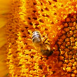 Bee pollination on sunflower macro — Stock Video