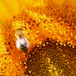 Stock Video: Bee pollination on sunflower macro