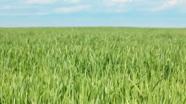 Green field with wheat under blue sky — Stock Video