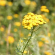 Tansy flowers on green meadow - Stok fotoğraf