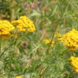 Tansy flowers on green meadow - Lizenzfreies Foto