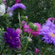 Aster flowers — Stock Video