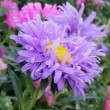 Aster flowers — Stock Video #13283991