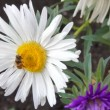 Bee on aster flower — Stock Video
