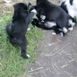 Stock Video: Little puppies playing