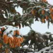 Snow-covered fir with cones and snow — Stock Video