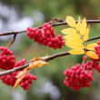 Stock Video: Red ashberry - autumn
