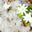Snowdrop flowers and melting snow - timelapse — Stock Video