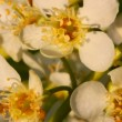 Bird cherry tree flowers — Stock Video