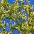 Blossom bird cherry tree branches — Stock Video #13286324