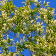 Blossom bird cherry tree branches — Stock Video