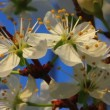 Stock Video: Bird cherry tree flowers