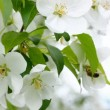 Stock Video: Bee pollination and apple tree flowers