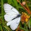 White butterfly on yellow flowers - aporia crataegi — Stock Video #13286721