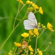 White butterfly on yellow flowers - aporia crataegi — Stock Video #13286736