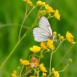 White butterfly on yellow flowers - aporia crataegi — Stock Video #13286740