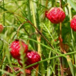 Wild strawberry close-up — Stock Video