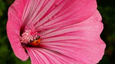 Ladybug on pink flower macro — Stock Video