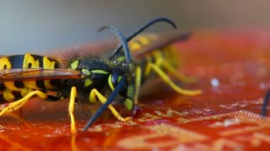 Macro view on wasps eating honey — Stock Video