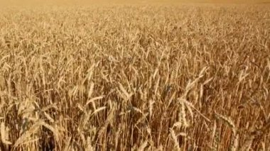 Yellow field with ripe wheat — Stock Video