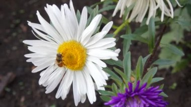 Bee on aster flower — Wideo stockowe