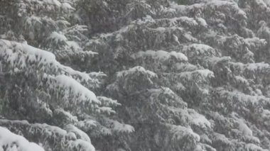 Snow-covered firs and snow — Stock Video
